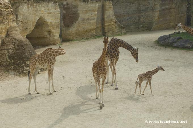 Troglo, girafes, une histoire de coût