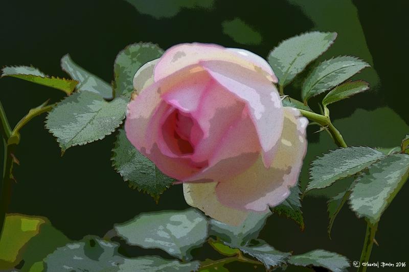 La fête de la Rose, Doué-La-Fontaine