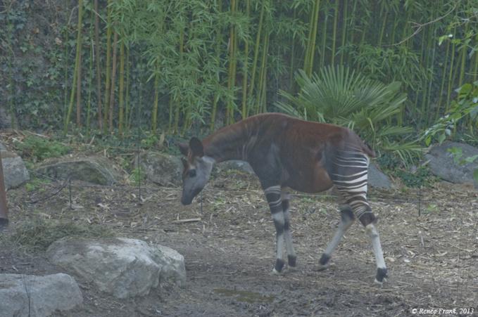 Mission de préservation au Bioparc : le sanctuaire des okapis.